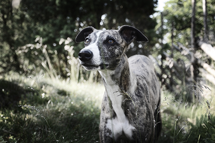 Zoey the whippet