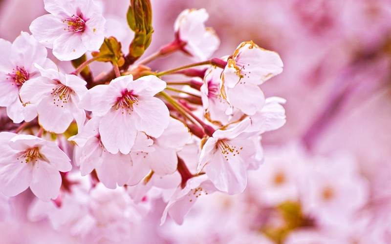 cherry-blossom-wallpaper-6571-6812-hd-wallpapers
