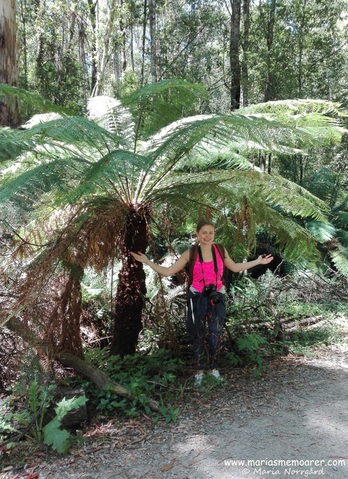 Huge fern trees in Dandenong Ranges National Park, Victoria