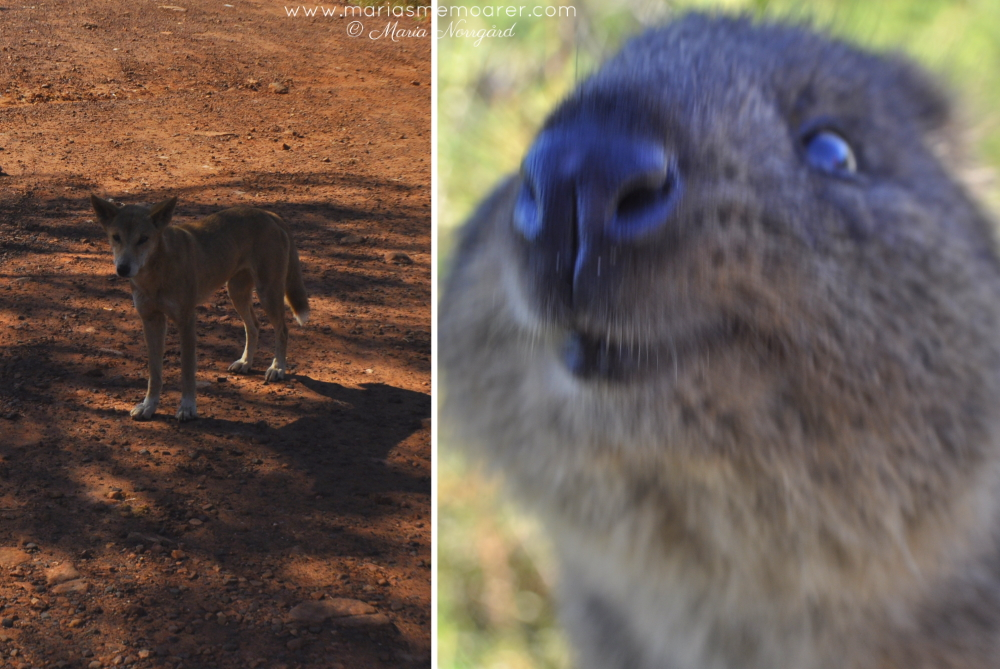 animals in Australia - smiling quokka and dingo