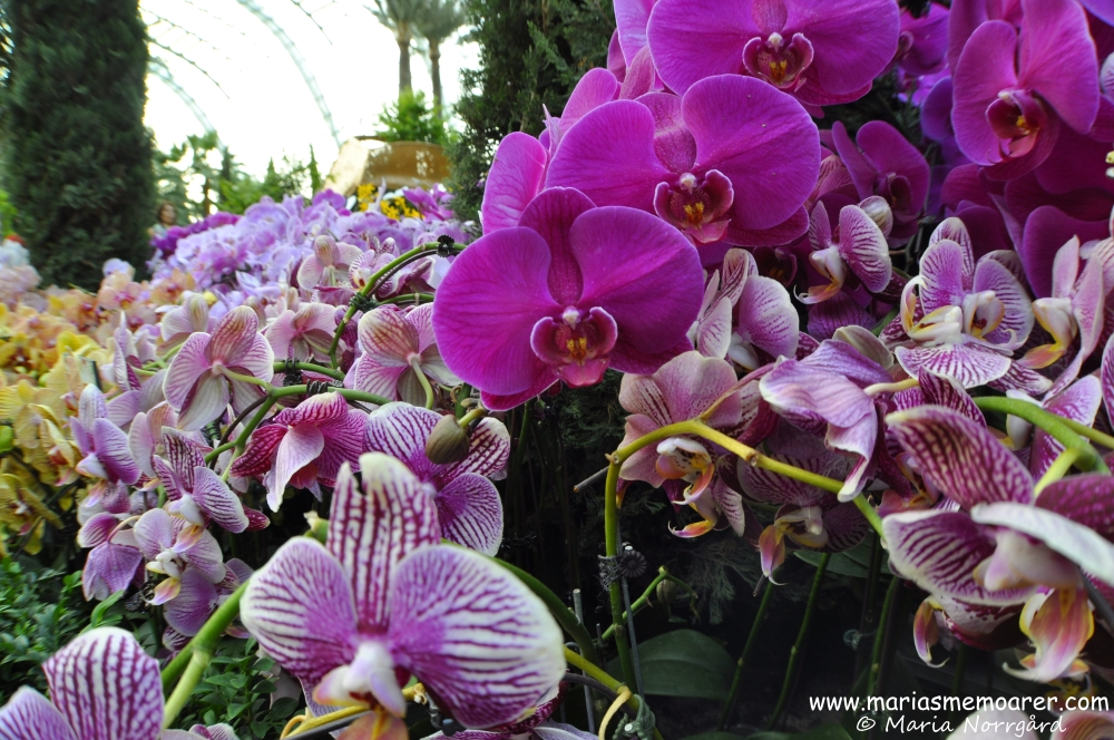 Beautiful orchids in Flower Dome, Gardens by the Bay, Singapore / vackra orkidéer i Flower Dome