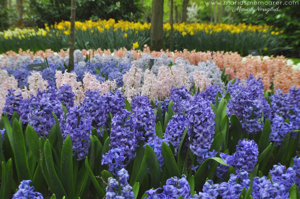 hyacinths and daffodils in Keukenhof
