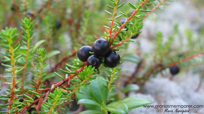 kråkär - crowberries in the forests of Finland