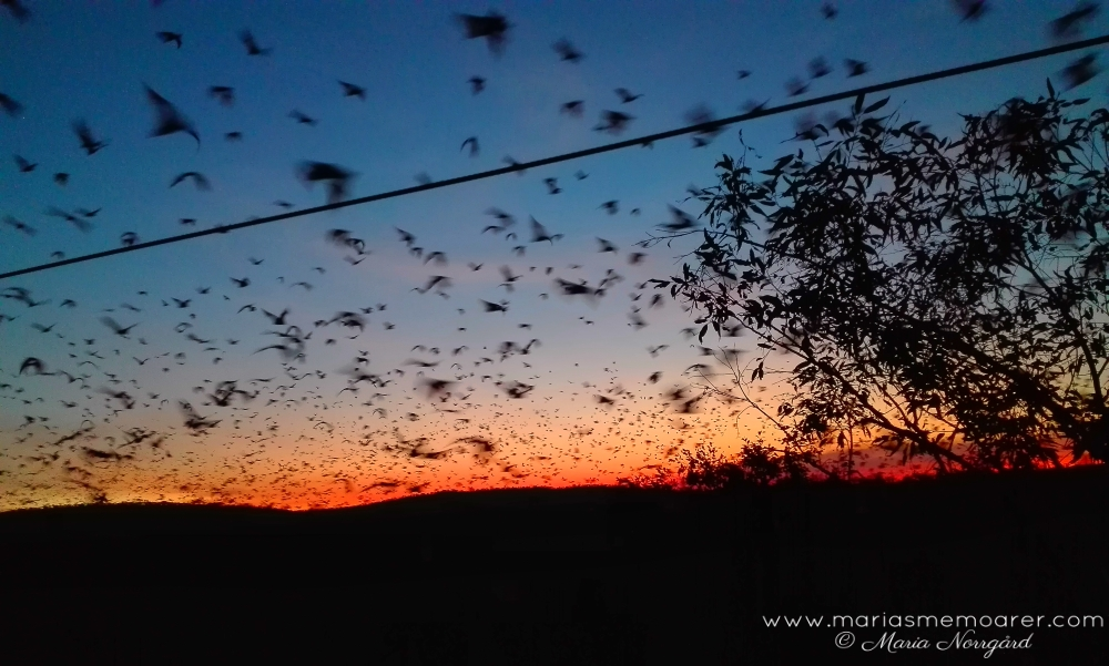 Nitmiluk National Park at sunset - plenty of flying foxes / mängder av flyghundar i solnedången i Northern Territory, Australien