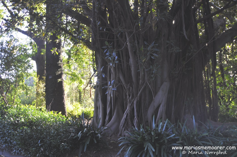 interesting trees in Royal Botanic Gardens, Melbs