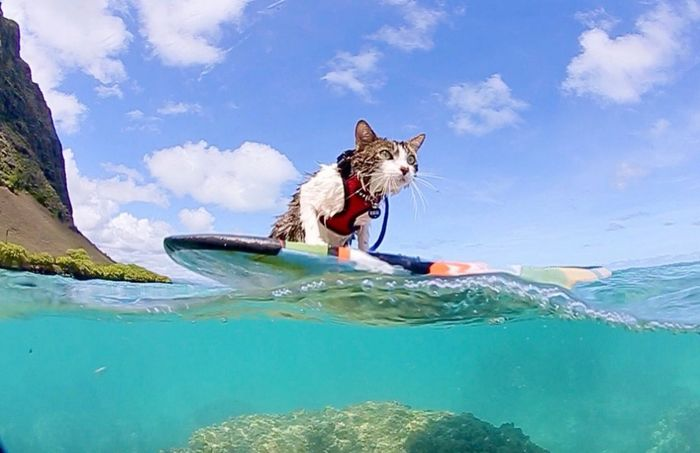 Hokulea the surfing cat - adventure cats on instagram