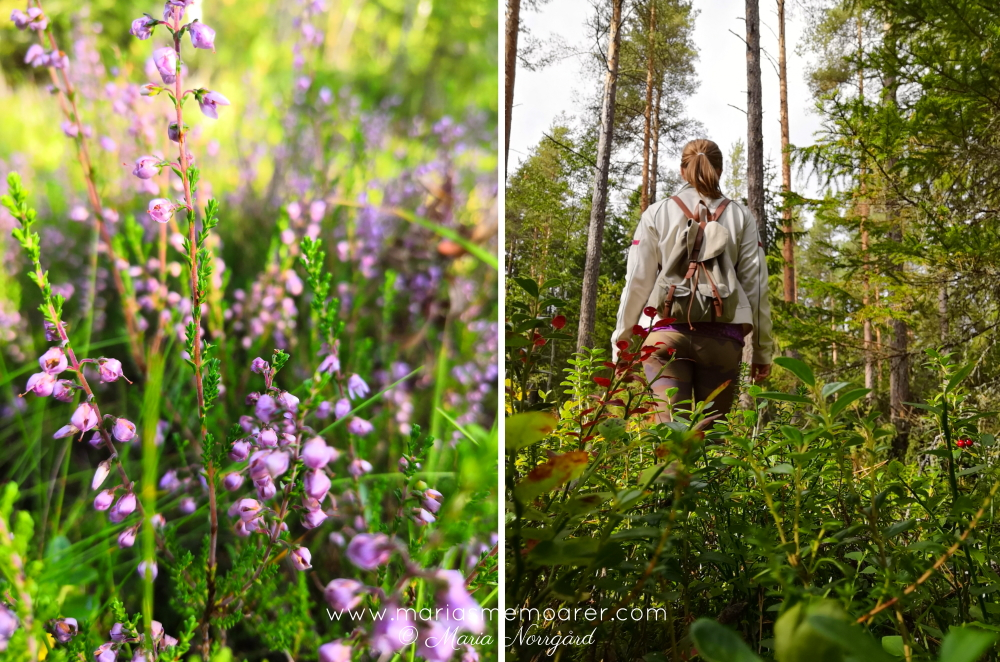 walk in the woods - autumn Finland- calluna heather