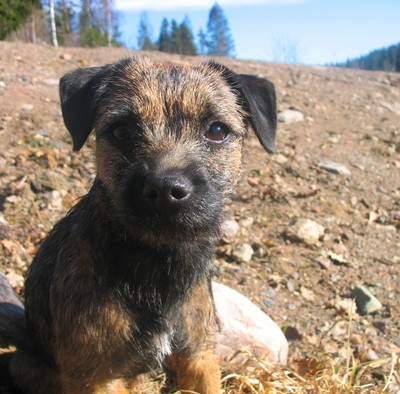 Ärtan borderterrier 7 mån