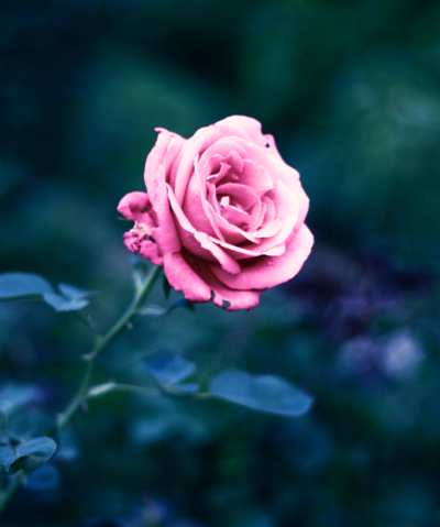 Pink rose of heaven