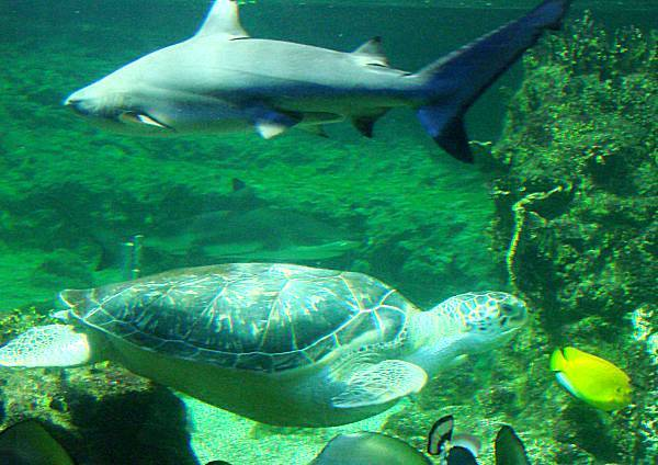 Shark and turtle sharing the same tank
