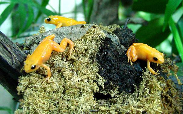 Yellow mini frogs