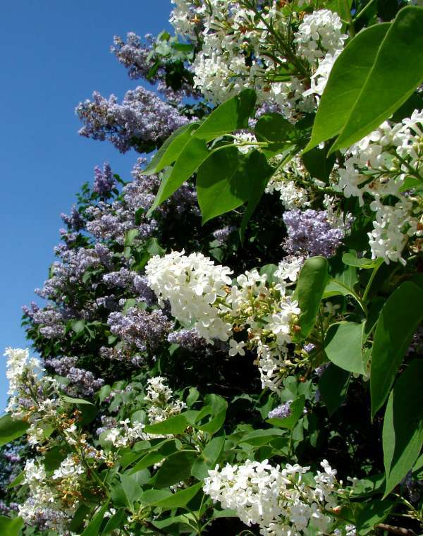 Wonderful abundance of Lilacs
