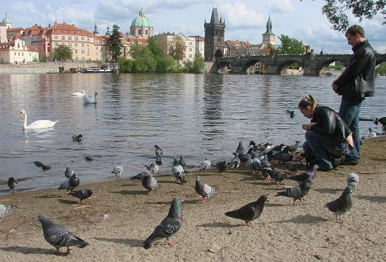 Swans and doves at river in Prague