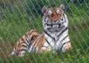 Amur tiger at Orsa Bear Park