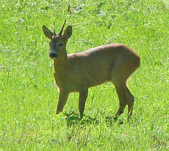 Telephoto roe deer