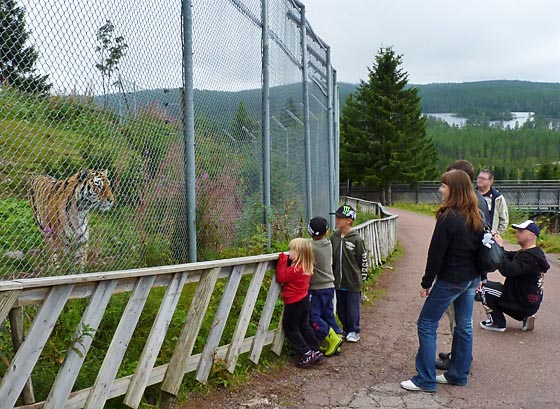 Close encounter with giant Siberian tiger