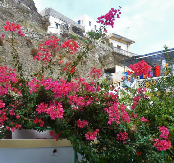 Bougainvillea in Olympos