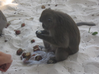 Mera monkeys på Monkey beach
