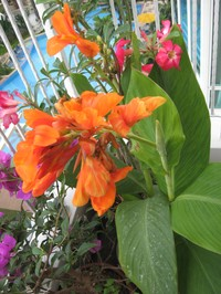 Canna, orange lilja